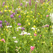 Pajiştea înflorită / Grassland in bloom