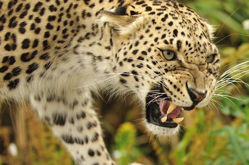 Leopard Roaring Anne Marie Kalus Flickr