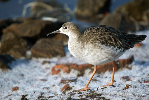 Ruff in the Snow, Martin Mere January 2010 | by Gidzy
