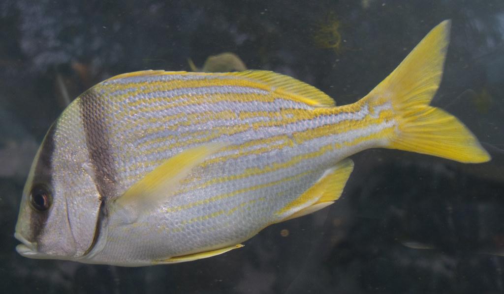Pork fish some of the riviera maya reef fish tony for Your inner fish summary