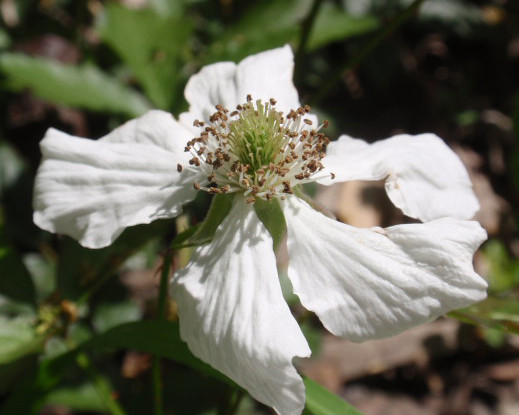 White flower with five petals monceau flickr white flower with five petals by monceau mightylinksfo