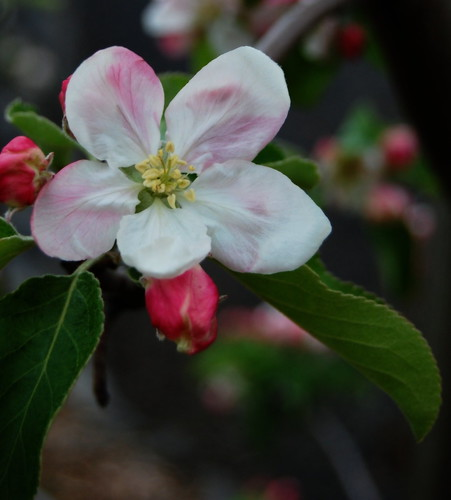 Apple blossom time | by Steve Rawley
