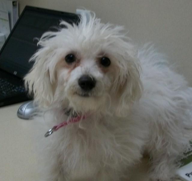 Maltipoo (maltese poodle mix) | Olathe Animal Hospital in ...