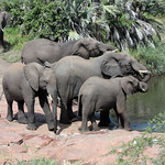 African Elephant herd at water hole, Kruger National Park