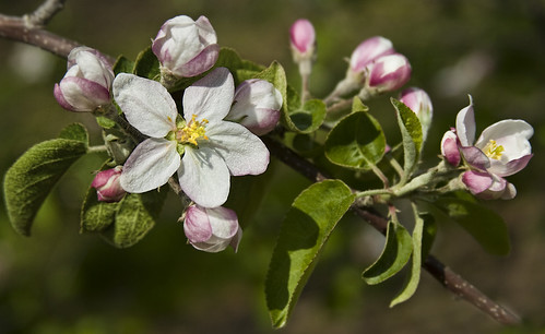 apple blossoms | by Muffet