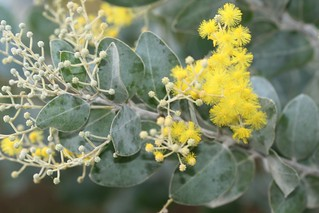 Acacia podalyriifolia (Queensland Silver Wattle; Mount Morgan Wattle) - cultivated | by Arthur Chapman