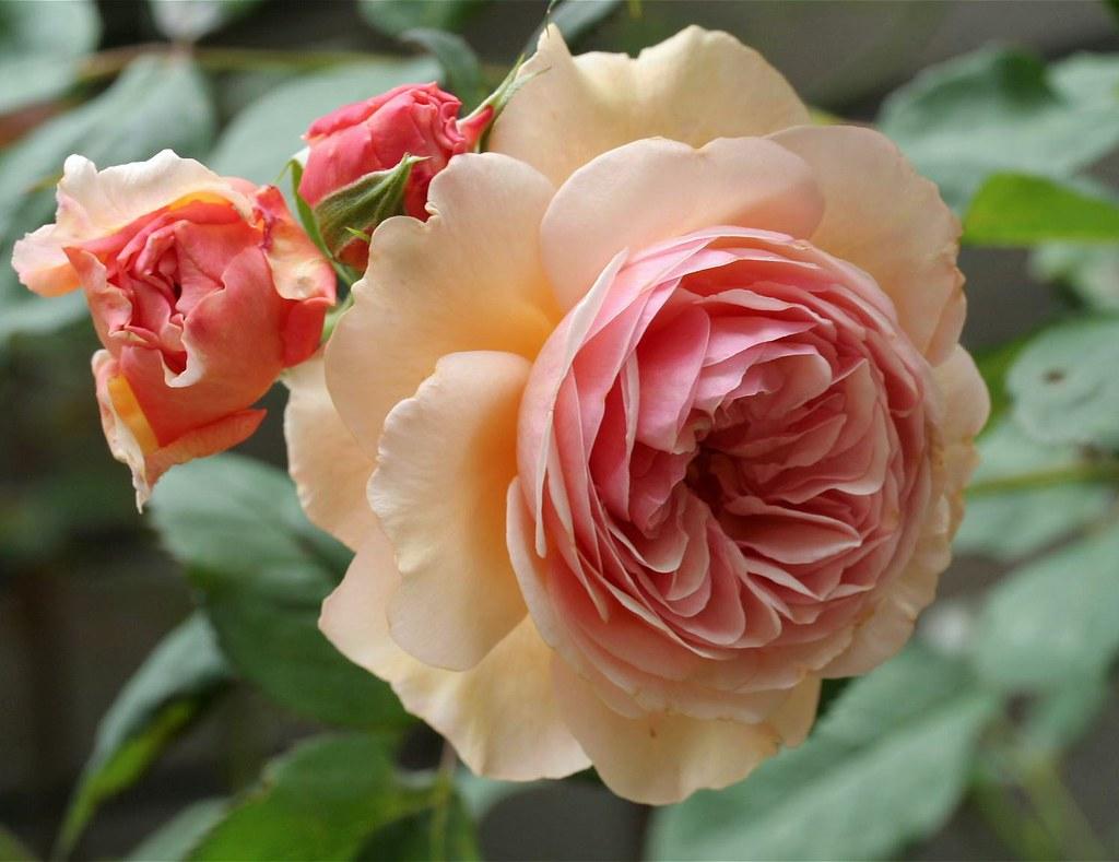 A Shropshire Lad Rose