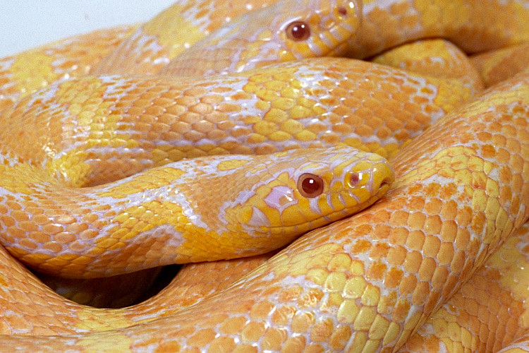 Jungle Corn Snake 4 Albino Jungle Corn Snake