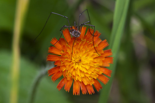 Harvestman Macro | by Second City Warehouse