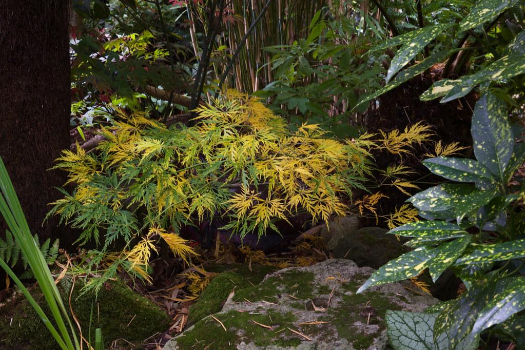 Acer palmatum dissectum 'Viridis' (Green Lace Leaf Japanes ...