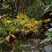 Acer palmatum dissectum 'Viridis' (Green Lace Leaf Japanese Maple) autumn