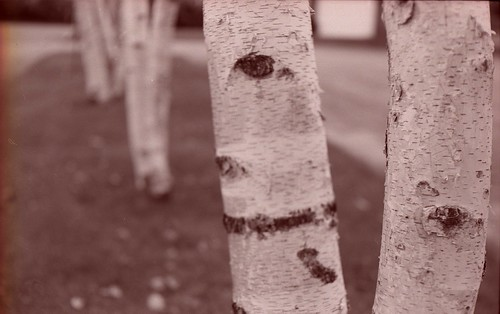 white birch | by snacky.