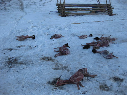 Strewn carcasses of skinned goats | by East Asia & Pacific on the rise - Blog