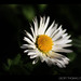 Tofino - Daisy Afternoon