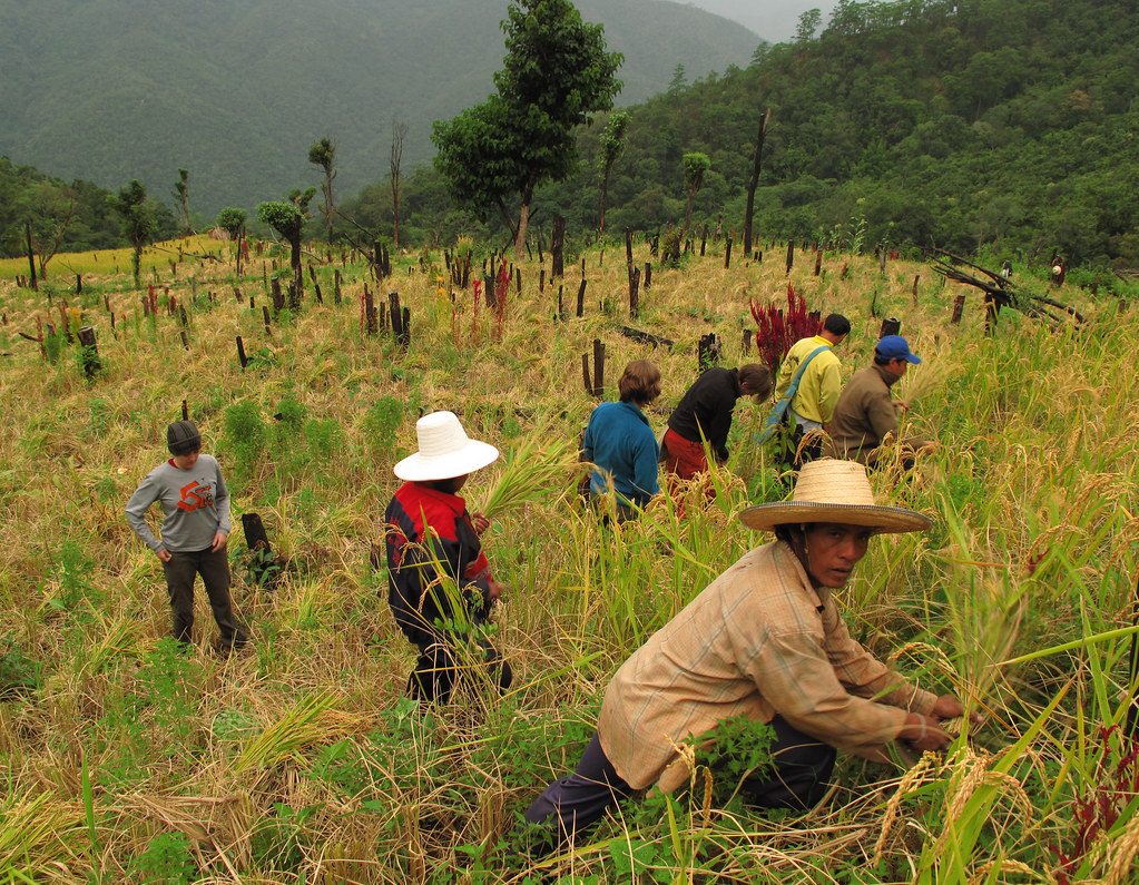 The Long Awaited Rice Harvest Huay Tong Kaw Thailand