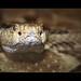 Waldklapperschlange (Timber Rattlesnake, Crotalus horridus)