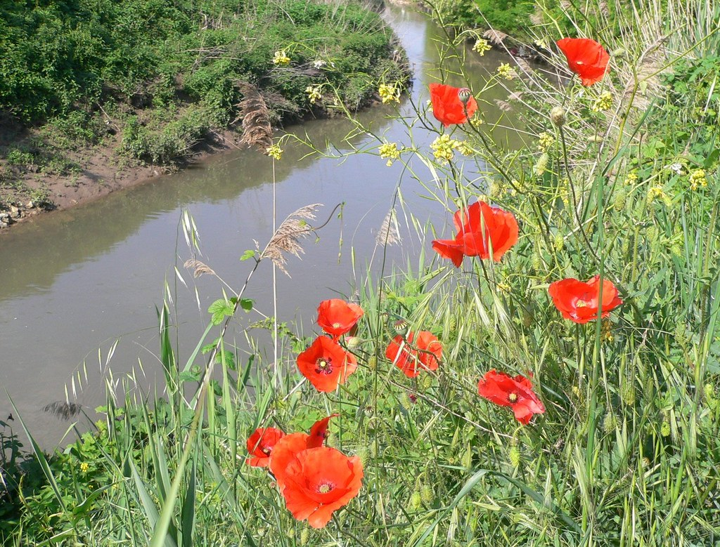 poppies along the river a poppy is any of a number of