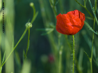 Poppy | by maritere-by mt photography