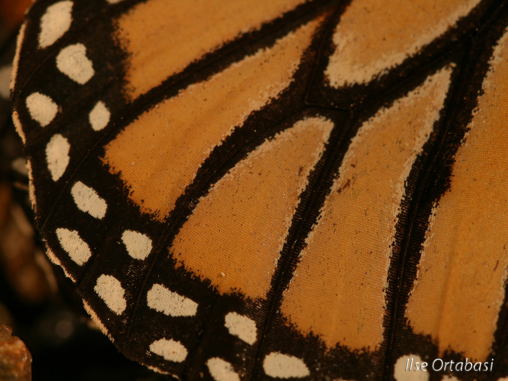 monarch butterfly wing close up ilse ortabasi flickr