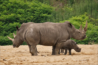 Mother and aunt give baby rhino protection | by Foto Martien (thanks for over 17 million views)