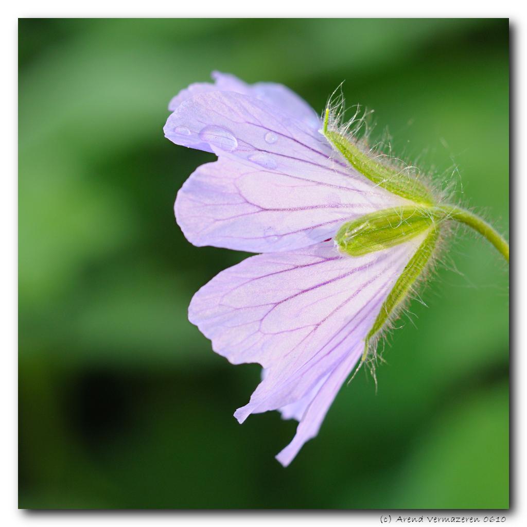 geranium philippe vapelle arend flickr. Black Bedroom Furniture Sets. Home Design Ideas