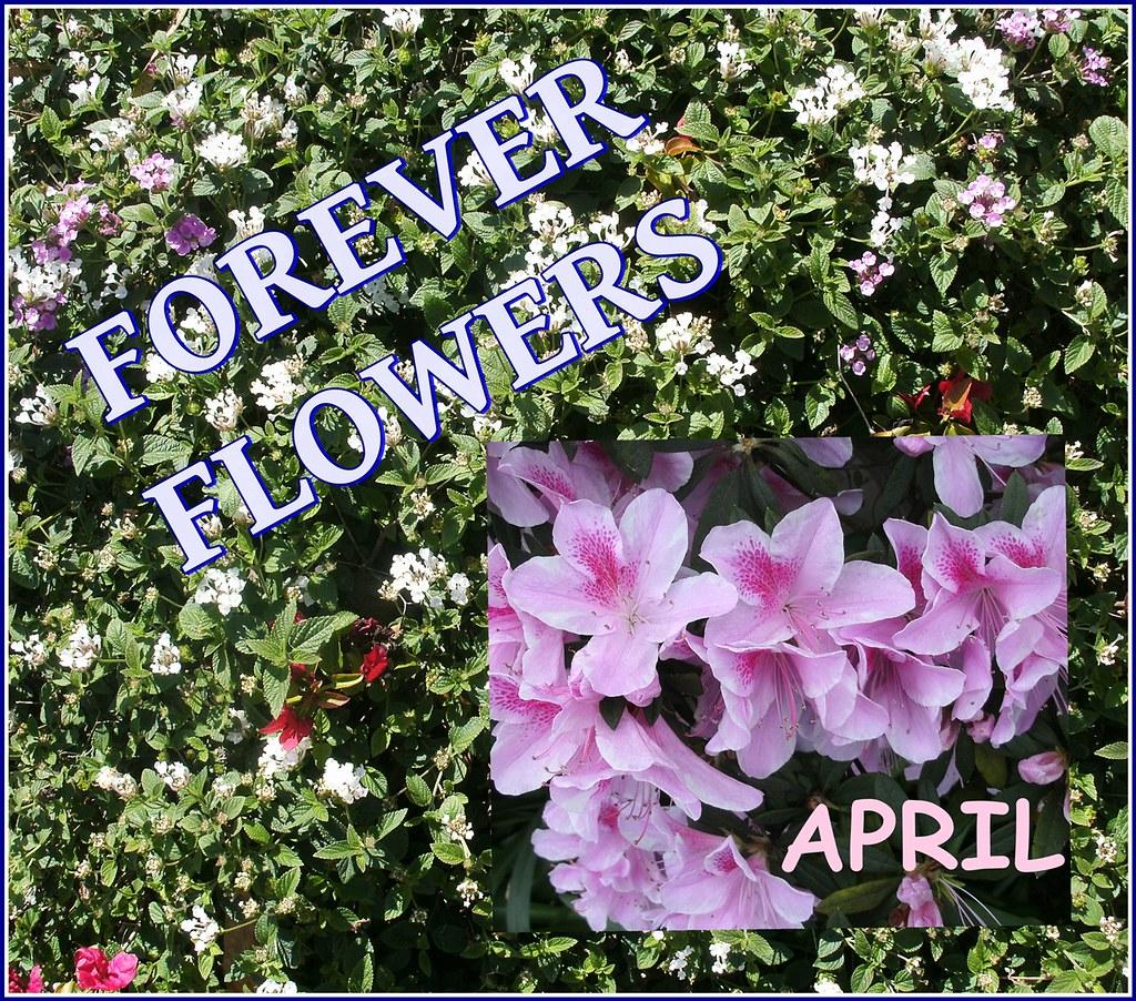 Today April Flowers: FOREVER FLOWERS BUSH 1-20-2017 WH-BL FR TODAY WH-GR APRIL