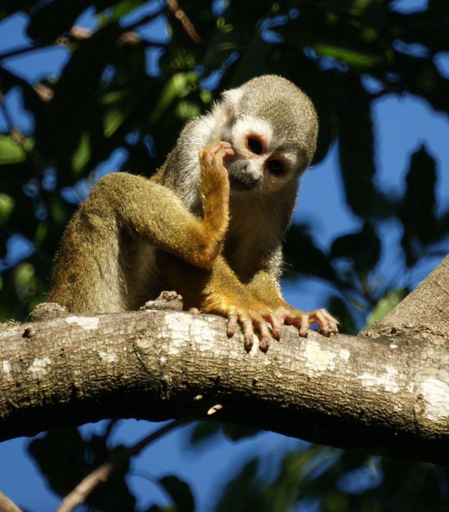Squirrel monkey- Bonnet House, Fort Lauderdale, Florida | Flickr