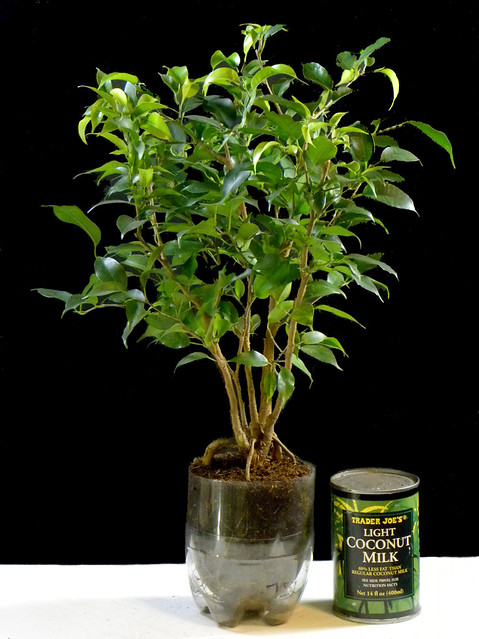One Year Old Ficus Benjamina Growing In A Recycled Soda Po