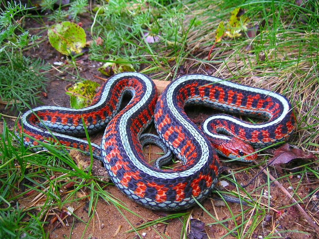 California Red Side Garter Snake Marin California The