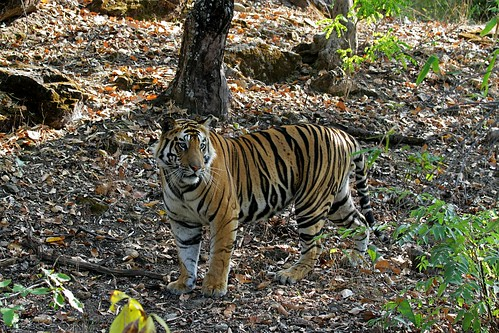 Tiger in the habitat | by Saran Vaid