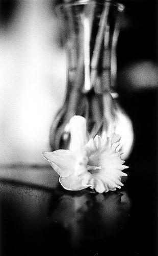 Narciso giallo pellicola ilford hp5 cinzia fabiani for Narciso giallo