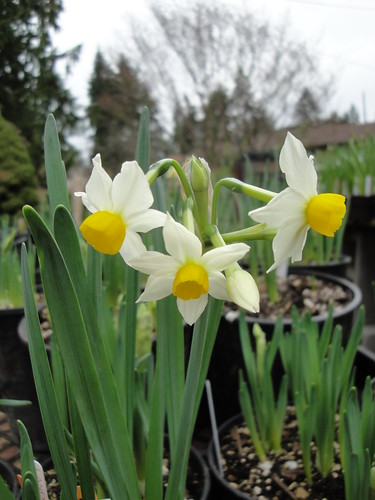 Narcissus canaliculatus | by RHR Horticulture