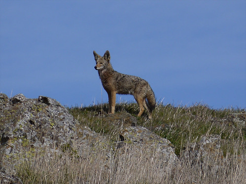 coyote on the ridge | by randomtruth