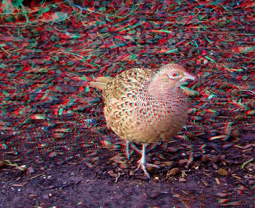 Female Pheasant 3D | by There and back again