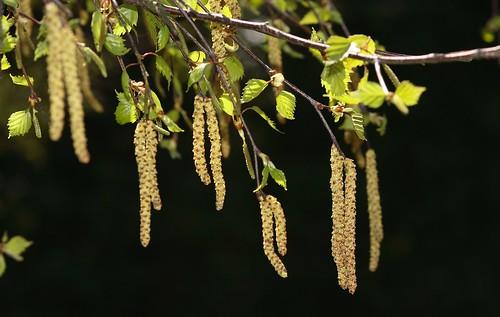 silver birch catkins photographed in newton suffolk