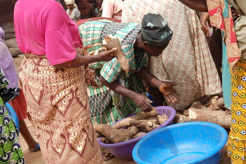 Woman examining infected cassava root | by IITA Image Library