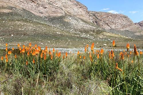 Kniphofia uvaria (Xanthorrhoeaceae)