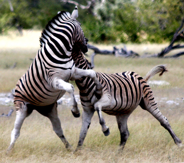 Zebras mating - photo#43