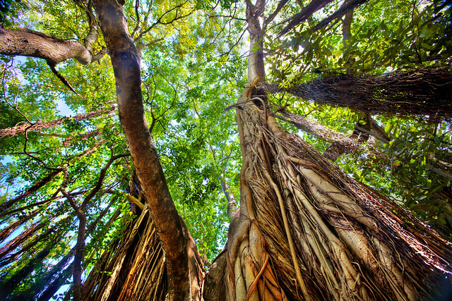 Strangler Fig - Banyan Tree  Strangler fig trees, banyan ...