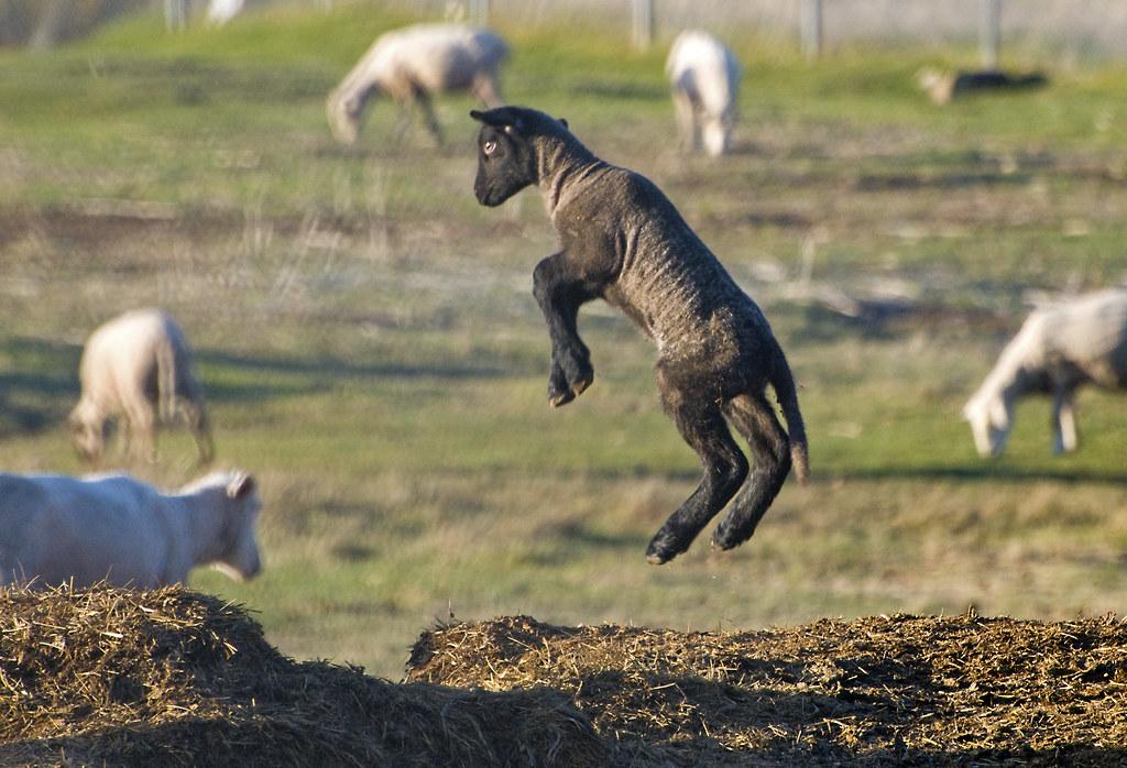 Black Sheep Jumping For Joy