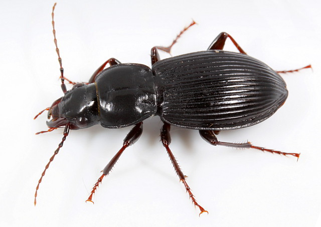 how to get rid of ground beetles in the house