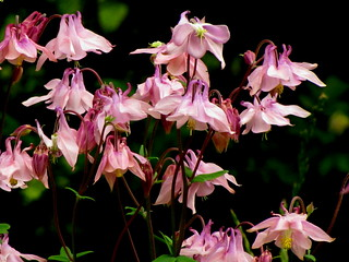 Columbine Cluster | by Jemsabell