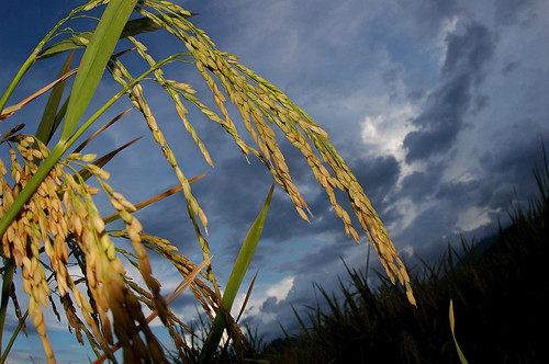rice stalks | by IRRI Images
