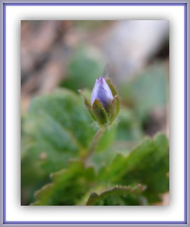 About to Bloom... Veronica | by lika2009 (in the U.S.A.)