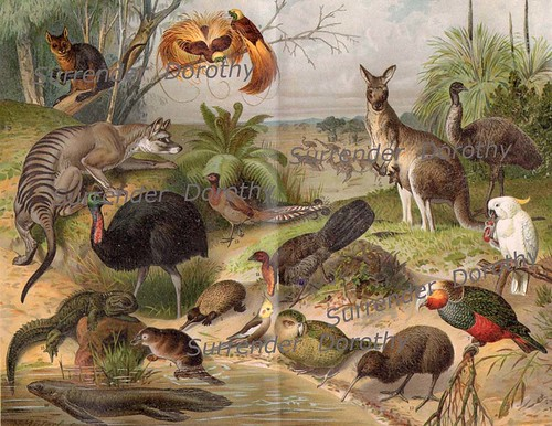 1887 Animals And Birds Of Australia Antique German Chromolithograph Illustration | by SurrendrDorothy