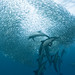 the sardine run #39