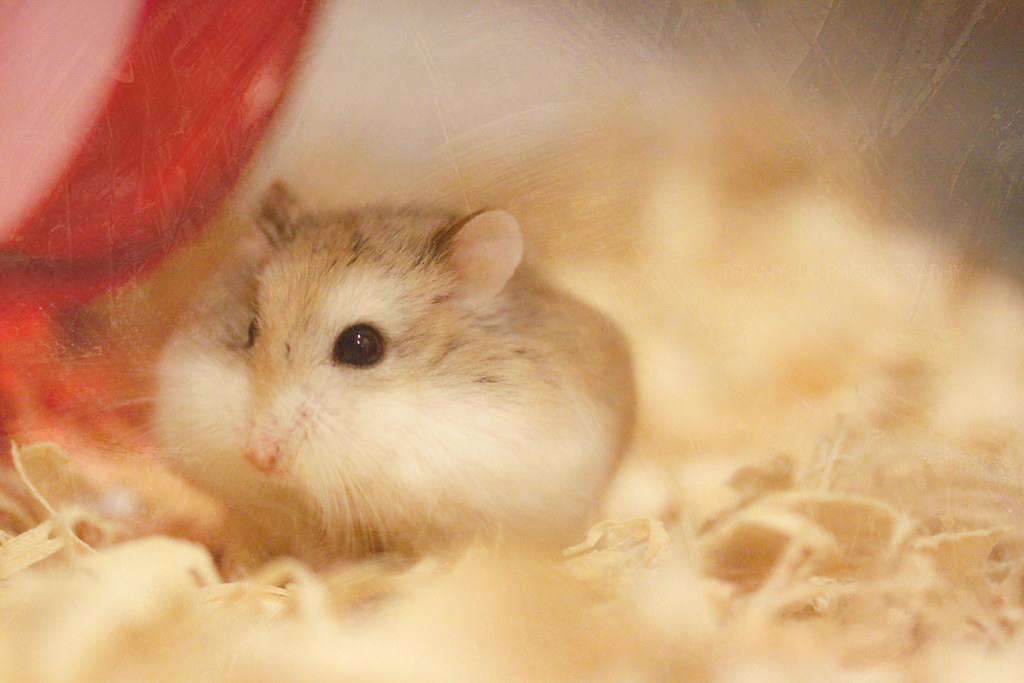 chubby cheek hamster