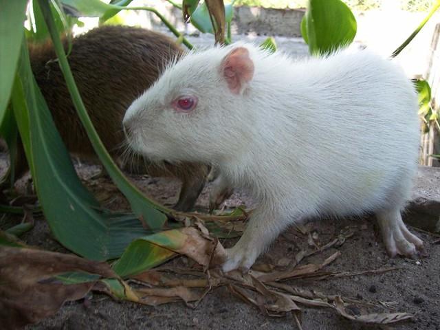 Resultado de imagen para Capibara albino