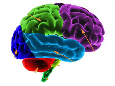 human brain color mason flickr