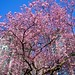 cherry blossoms in february at the VAG